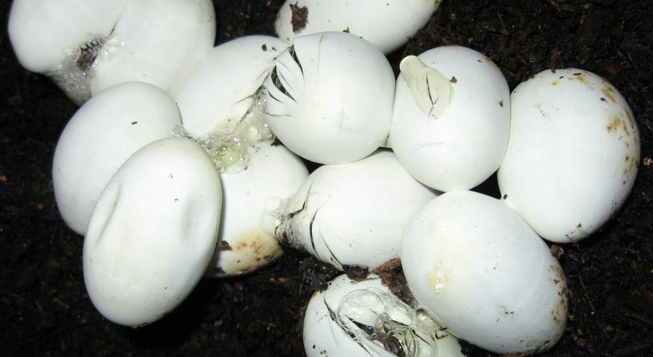 metallica madre ovipara